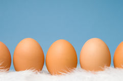 Brown eggs in a row with blue background. Brown eggs laying on white feathers with blue background Royalty Free Stock Photography