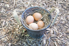 Brown Eggs in a Tin Bucket   Stock Photos