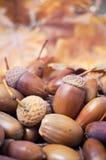 Brown-Eicheln mit Herbstlaub im Hintergrund Lizenzfreies Stockfoto