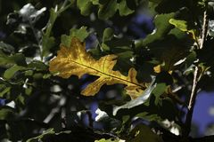 Brown-Eichen-Blatt auf Niederlassung unter grünen Eichen-Blättern Stockfotografie