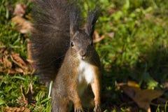 Brown-Eichhörnchen Stockfoto