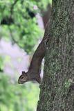 Brown-Eichhörnchen Stockfotos