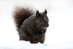 Brown-Eichhörnchen bedeckt im Schnee Stockbilder