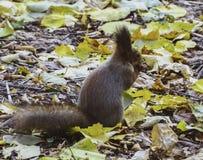 Brown-Eichhörnchen, das auf Herbstlaub an einem sonnigen Tag und die Nuss nehmen sitzt stockbild