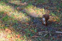 Brown-Eichhörnchen im Herbstpark lizenzfreies stockfoto