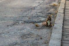 Brown-Eichhörnchen im Herbstpark lizenzfreie stockbilder