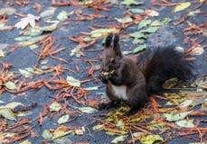 Brown-Eichhörnchenessen Stockfotos
