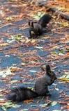 Brown-Eichhörnchenessen Stockbild