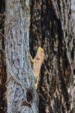 Brown-Eidechse, asiatische Eidechse oder Baumeidechse Lizenzfreies Stockfoto