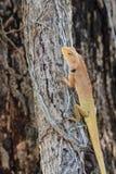 Brown-Eidechse, asiatische Eidechse oder Baumeidechse Stockfotografie