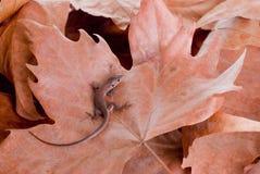 Brown-Eidechse auf trockenen braunen Blättern Stockfotografie
