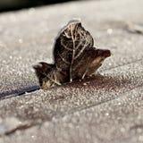 Brown einzelnes Frosty Leaf Standing auf Holztisch Stockfotografie