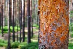 Brown el árbol de pino Cora joven Vista de árboles viejos altos en el cielo azul imperecedero del bosque primitivo en el fondo fotografía de archivo libre de regalías