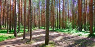 Brown el ?rbol de pino Cora joven Vista de ?rboles viejos altos en el cielo azul imperecedero del bosque primitivo en el fondo fotografía de archivo
