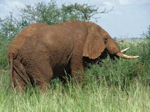 Brown Elephant in Africa Stock Photography