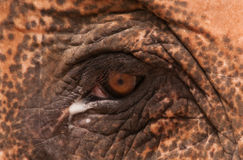 Elephant Eye cut Royalty Free Stock Photography
