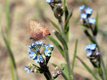 Brown Elfin Butterfly - Callophrys augustinus Stock Images