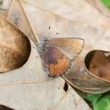 Brown Elfin Butterfly Stock Images
