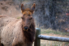 Free Brown Elk Chewing By A Wooden Fence Royalty Free Stock Photos - 69687258