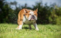 Brown English Bulldog shaking Stock Photo