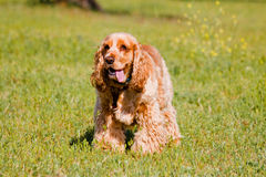 Brown English Cocker Spaniel Royalty Free Stock Photography