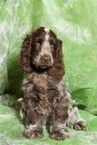 Brown English Cocker Spaniel puppy Stock Image
