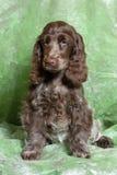 Brown English Cocker Spaniel puppy Stock Photography
