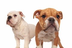 Brown english puppy dog standing in front of its brother Royalty Free Stock Photography