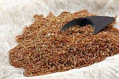 Brown Ermes ryż Fotografia Stock