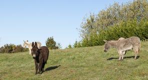 Brown-Esel Lizenzfreies Stockfoto