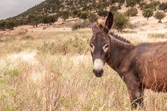 Brown-Esel Lizenzfreie Stockfotos