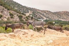 Brown-Esel Stockbilder