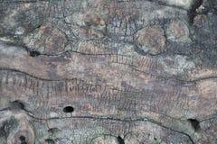 Brown et écorce d'arbre rugueuse de vert avec le plan rapproché de trous photos stock