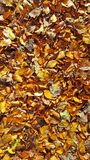 Brown et automne d'or pousse des feuilles sur le plancher de forêt photo libre de droits