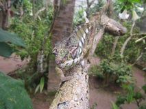 Brown et caméléon vert Images stock