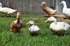 Brown et canard blanc à une ferme Photo libre de droits