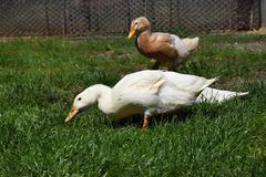 Brown et canard blanc dans l'herbe à une ferme Photographie stock