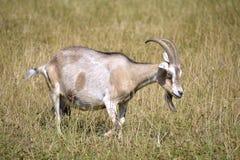Brown et chèvre blanche dans l'herbe Photo libre de droits