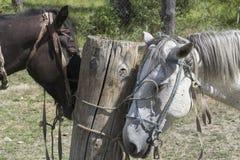 Brown et cheval blanc à la laisse photographie stock libre de droits
