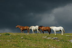 Brown et chevaux blancs Photographie stock
