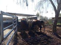 Brown et chevaux blancs dans une écurie photos stock