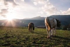 Brown et chevaux blancs mangeant dans un domaine vert au coucher du soleil photo stock