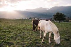 Brown et chevaux blancs mangeant dans un domaine vert sur un lumineux images libres de droits