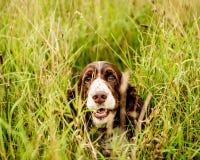 Brown et chien blanc d'épagneul de springer anglais Photos libres de droits