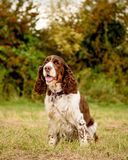 Brown et chien blanc d'épagneul de springer anglais Photographie stock
