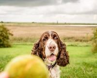 Brown et chien blanc d'épagneul de springer anglais Image libre de droits