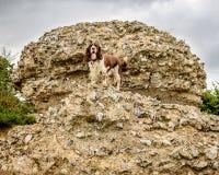 Brown et chien blanc d'épagneul de springer anglais Images stock