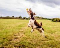 Brown et chien blanc d'épagneul de springer anglais Photo stock