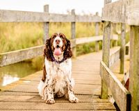 Brown et chien blanc d'épagneul de springer anglais Photographie stock libre de droits