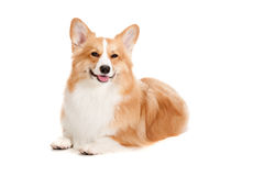 Brown et Corgi blanc photo stock
